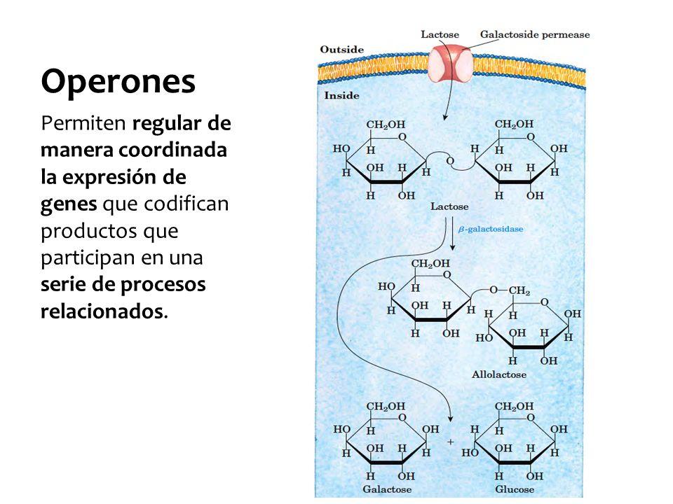 Operones Permiten regular de manera coordinada la expresión de genes que codifican productos que participan en una serie de procesos relacionados.