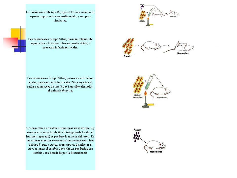 Los neumococos de tipo R (rugoso) forman colonias de aspecto rugoso sobre un medio sólido, y son poco virulentos.