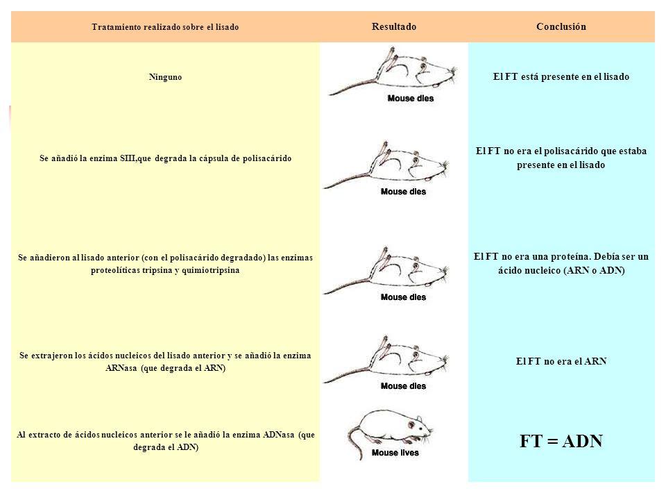 FT = ADN Resultado Conclusión El FT está presente en el lisado