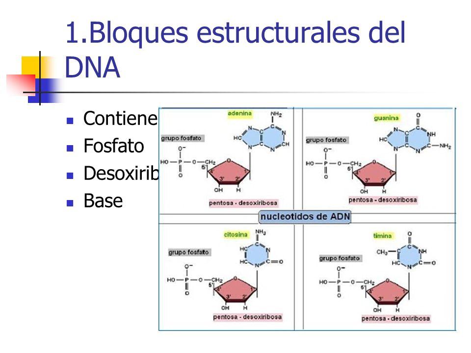 1.Bloques estructurales del DNA