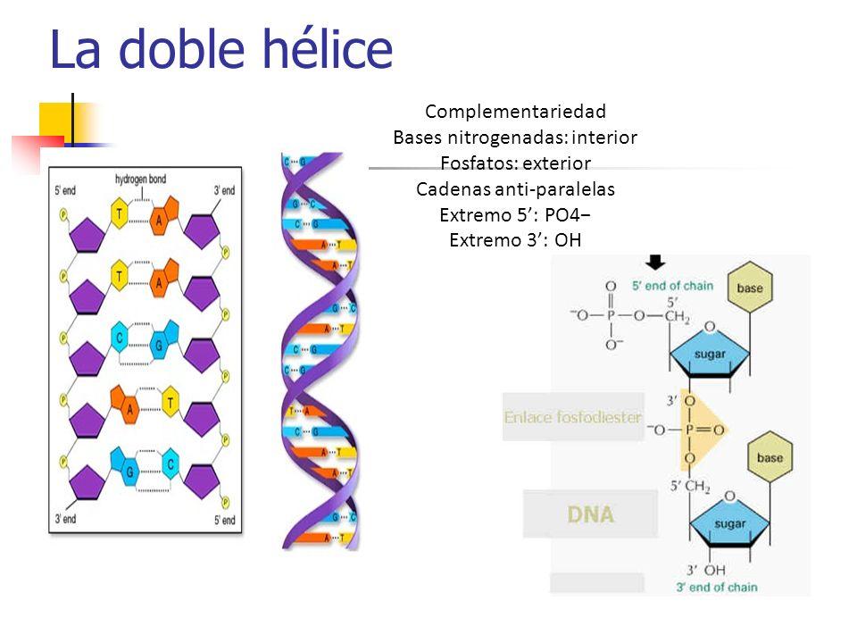 La doble hélice Complementariedad Bases nitrogenadas: interior