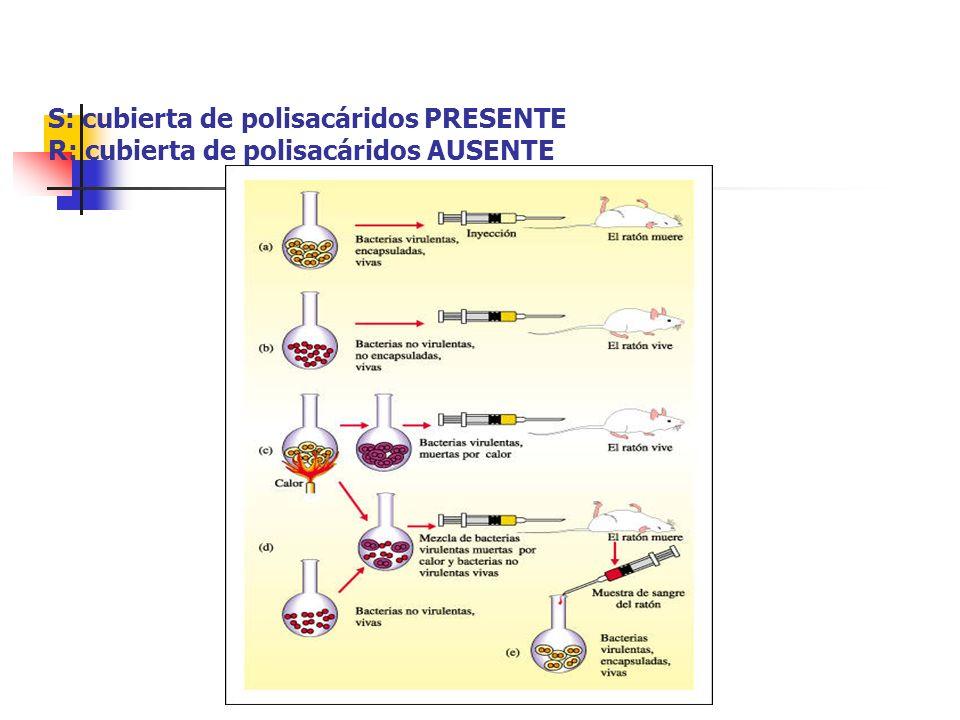 S: cubierta de polisacáridos PRESENTE R: cubierta de polisacáridos AUSENTE