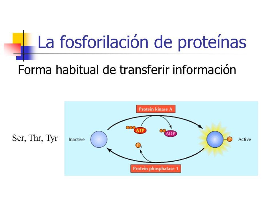La fosforilación de proteínas