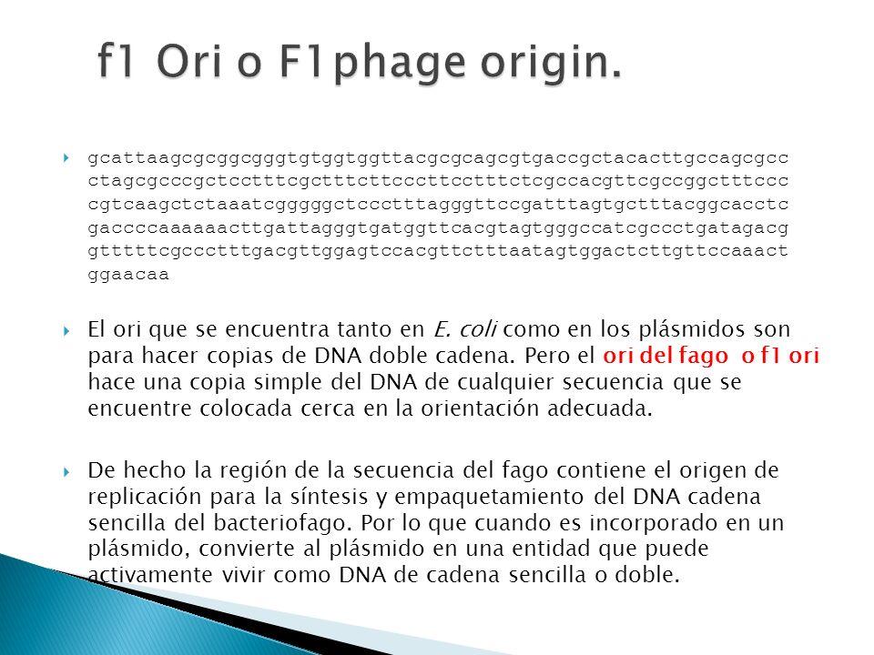 f1 Ori o F1phage origin.