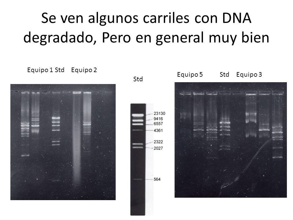 Se ven algunos carriles con DNA degradado, Pero en general muy bien