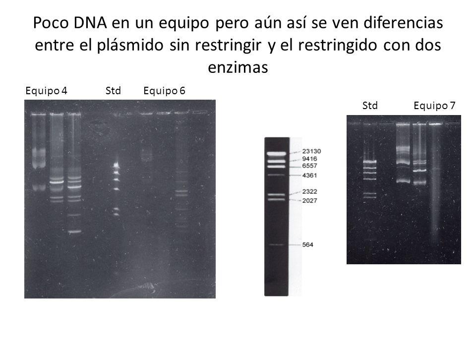 Poco DNA en un equipo pero aún así se ven diferencias entre el plásmido sin restringir y el restringido con dos enzimas