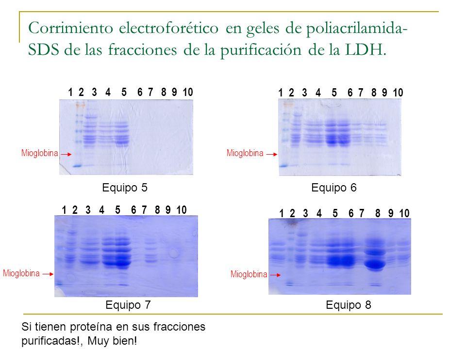 Corrimiento electroforético en geles de poliacrilamida-SDS de las fracciones de la purificación de la LDH.