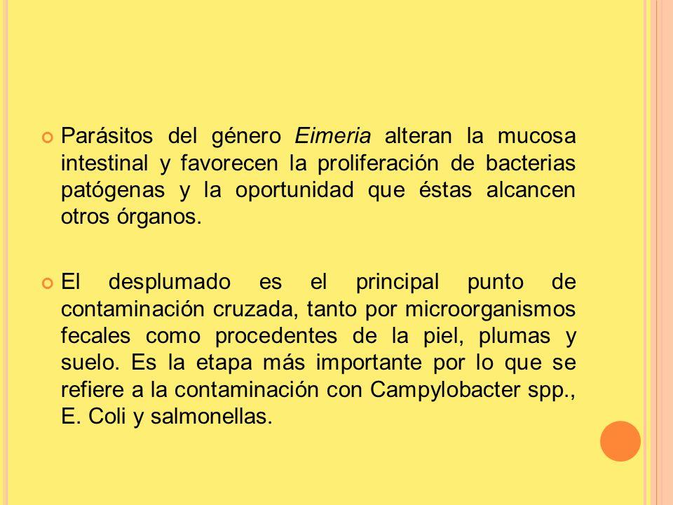 Parásitos del género Eimeria alteran la mucosa intestinal y favorecen la proliferación de bacterias patógenas y la oportunidad que éstas alcancen otros órganos.