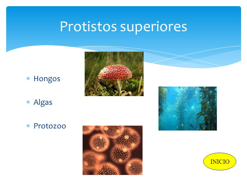Protistos superiores Hongos Algas Protozoo INICIO