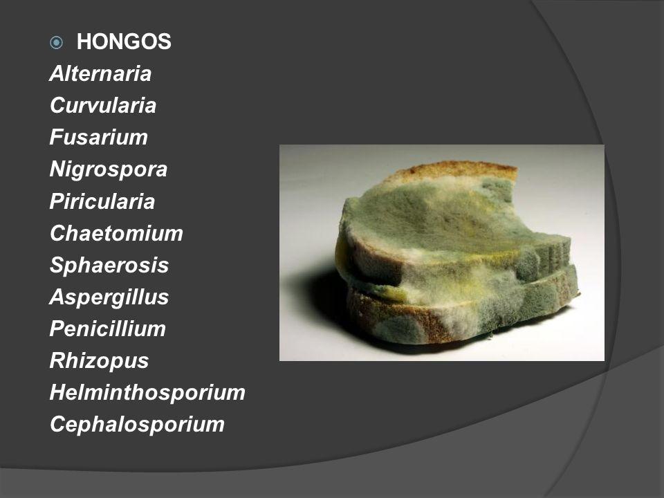 HONGOSAlternaria. Curvularia. Fusarium. Nigrospora. Piricularia. Chaetomium. Sphaerosis. Aspergillus.