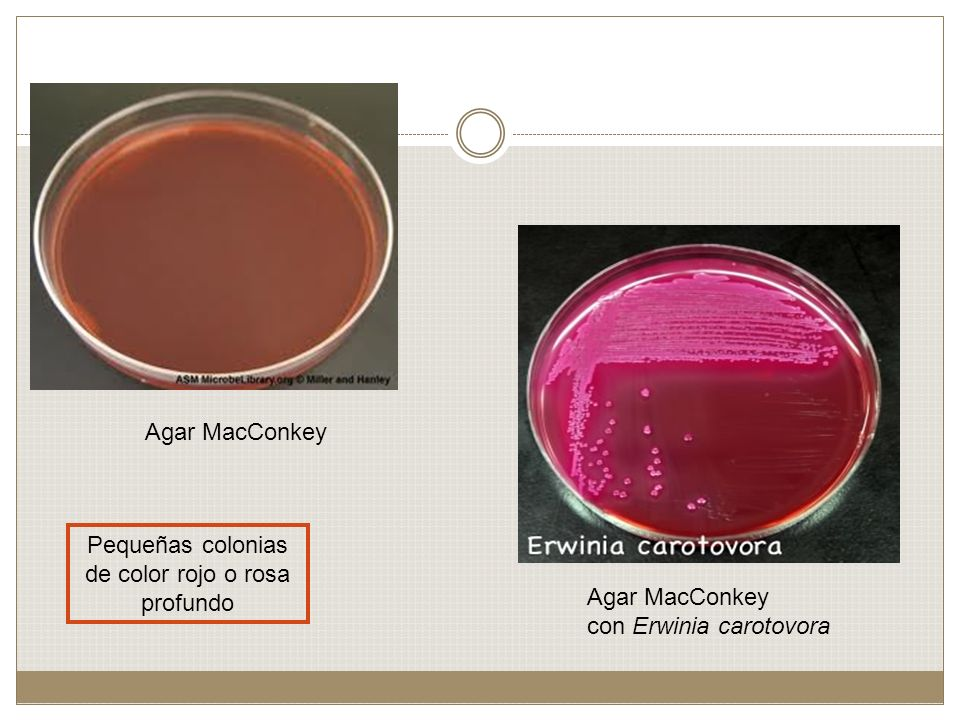 Pequeñas colonias de color rojo o rosa profundo