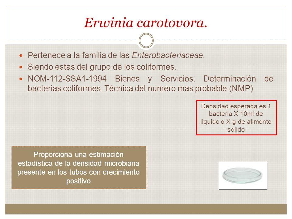 Erwinia carotovora. Pertenece a la familia de las Enterobacteriaceae.
