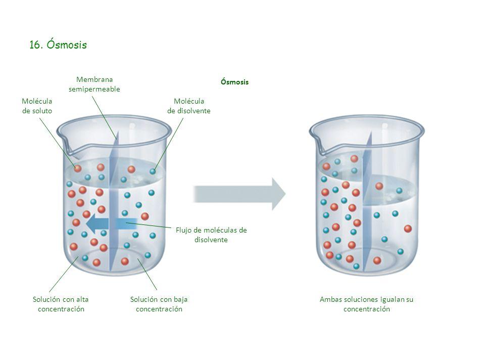 16. Ósmosis Membrana semipermeable Ósmosis Molécula de soluto