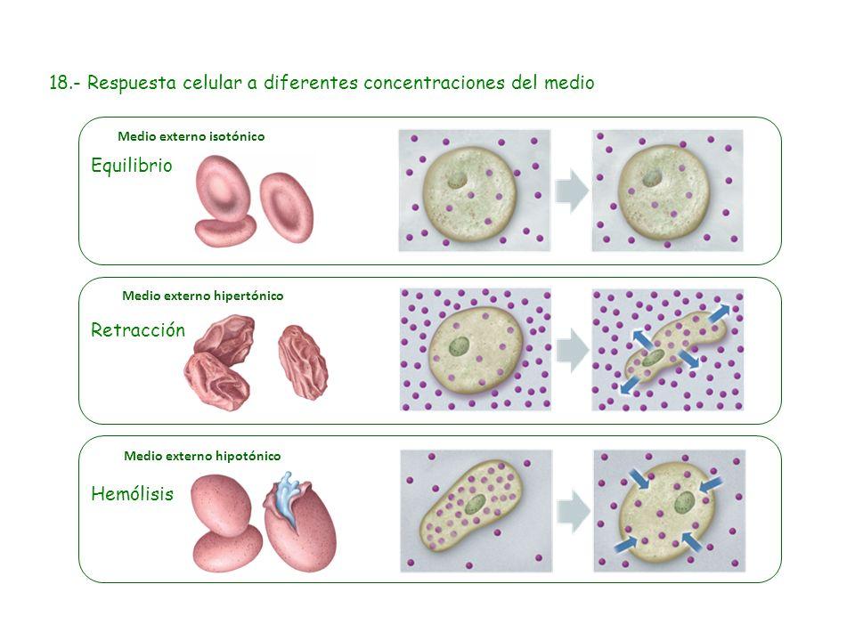 18.- Respuesta celular a diferentes concentraciones del medio