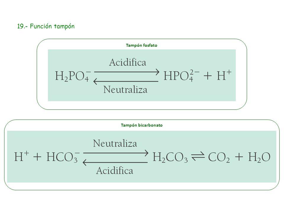 19.- Función tampón Tampón fosfato Tampón bicarbonato