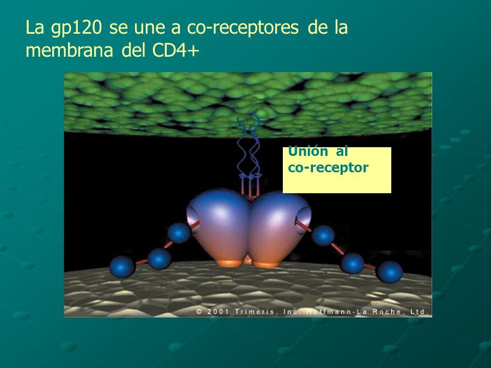 La gp120 se une a co-receptores de la membrana del CD4+
