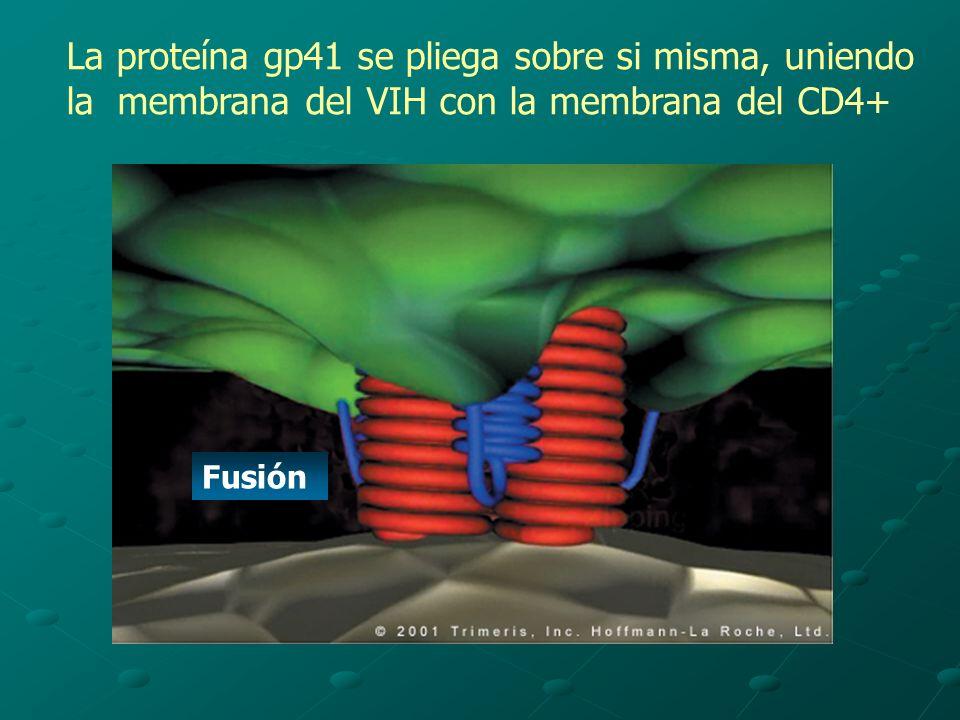 La proteína gp41 se pliega sobre si misma, uniendo la membrana del VIH con la membrana del CD4+