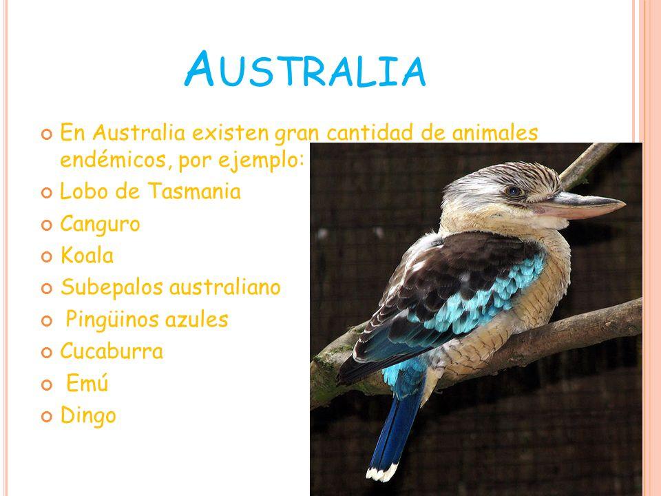 AustraliaEn Australia existen gran cantidad de animales endémicos, por ejemplo: Lobo de Tasmania. Canguro.