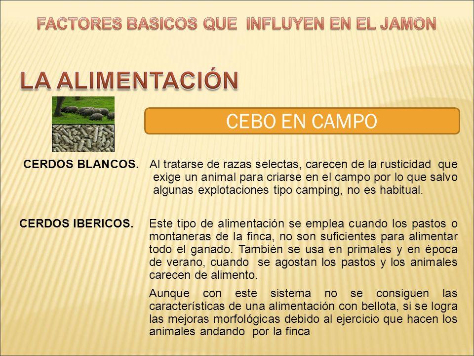 CEBO EN CAMPO