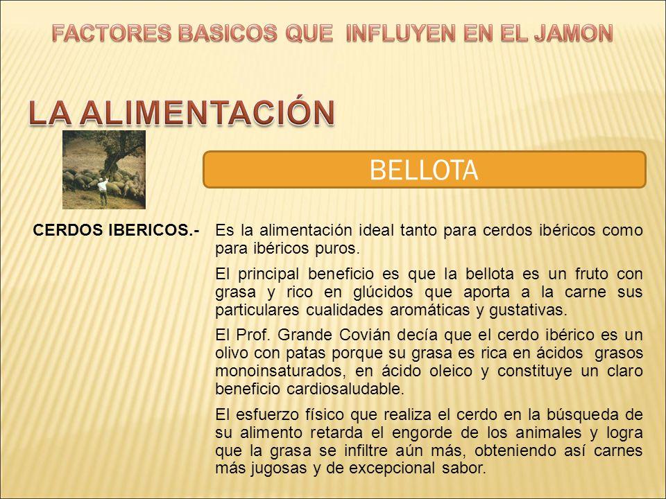 BELLOTA CERDOS IBERICOS.- Es la alimentación ideal tanto para cerdos ibéricos como para ibéricos puros.