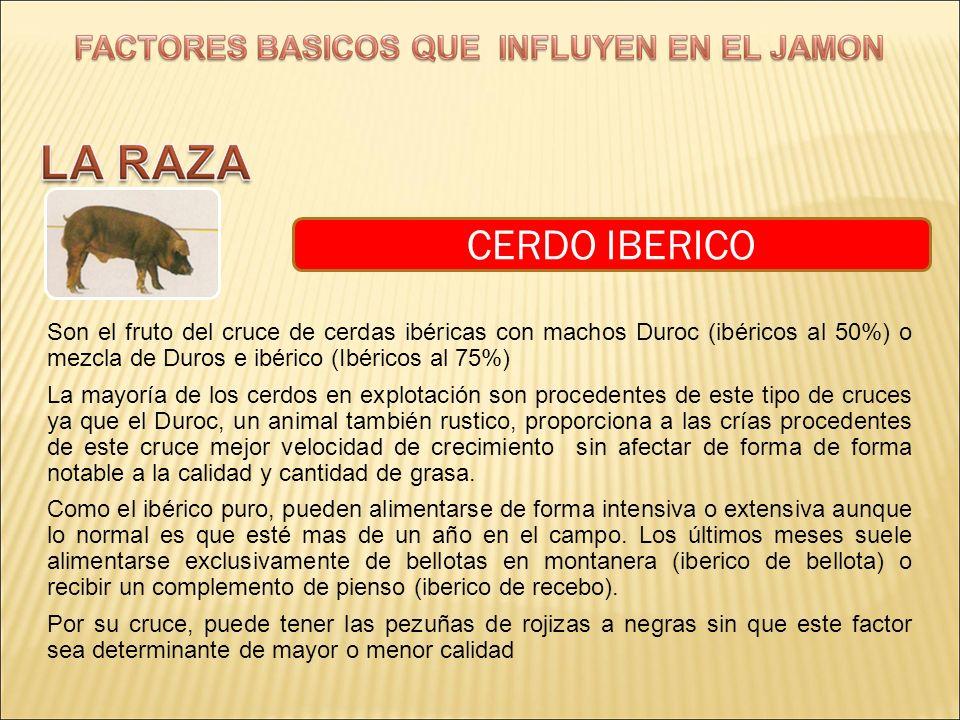 CERDO IBERICO Son el fruto del cruce de cerdas ibéricas con machos Duroc (ibéricos al 50%) o mezcla de Duros e ibérico (Ibéricos al 75%)