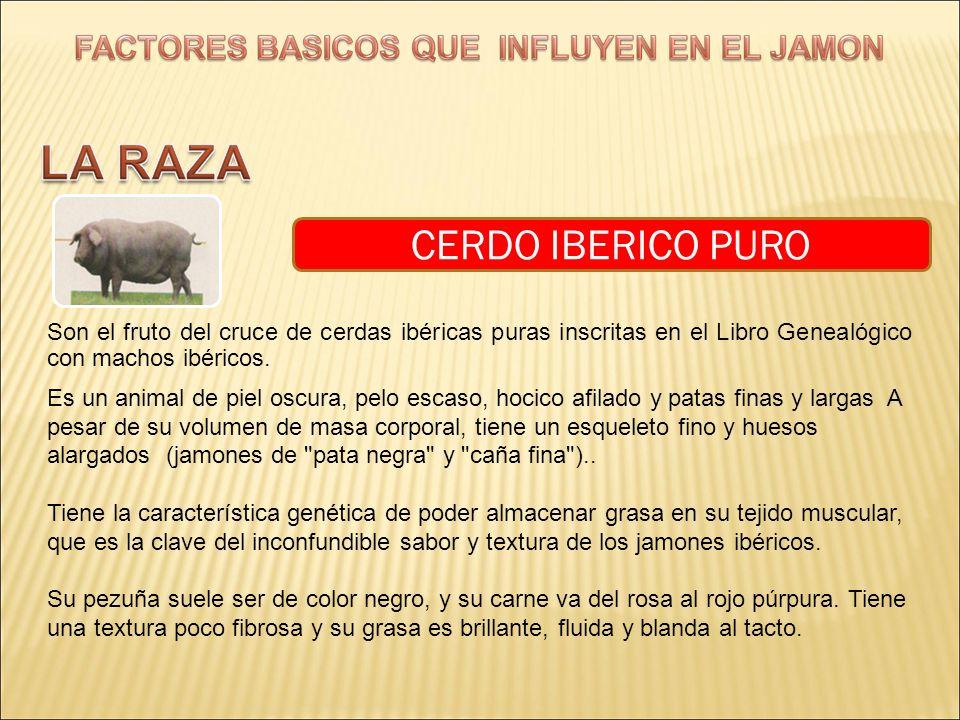 CERDO IBERICO PURO Son el fruto del cruce de cerdas ibéricas puras inscritas en el Libro Genealógico con machos ibéricos.