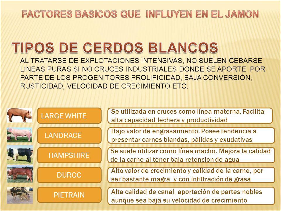 LARGE WHITE LANDRACE HAMPSHIRE DUROC PIETRAIN