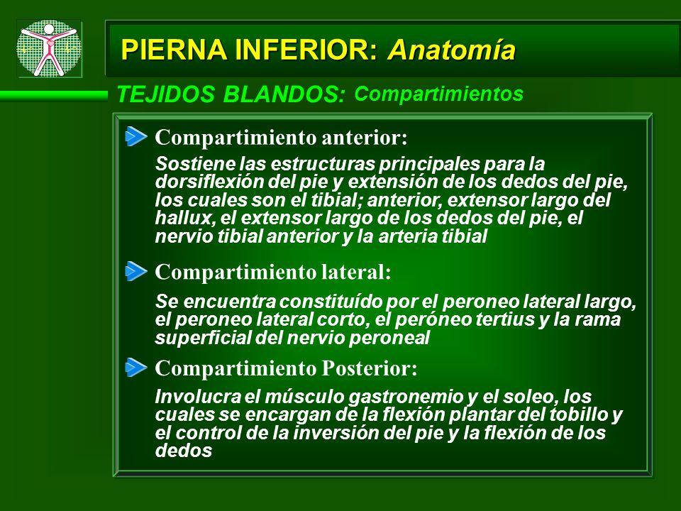Atractivo Lateral Inferior Anatomía De La Pierna Friso - Imágenes de ...