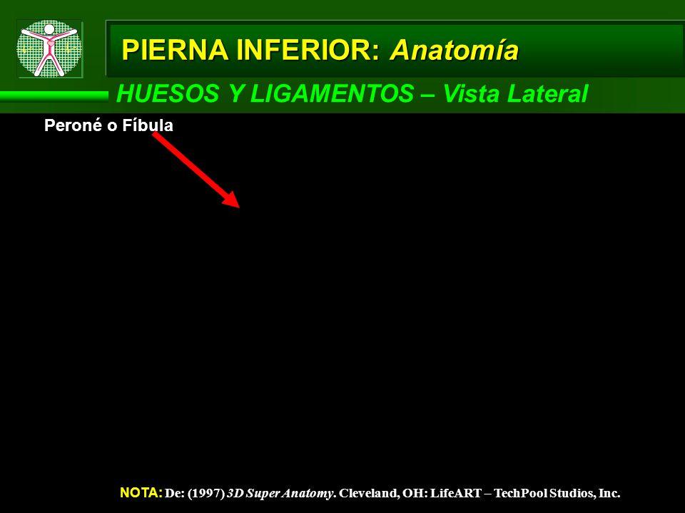 PIERNA INFERIOR: Anatomía