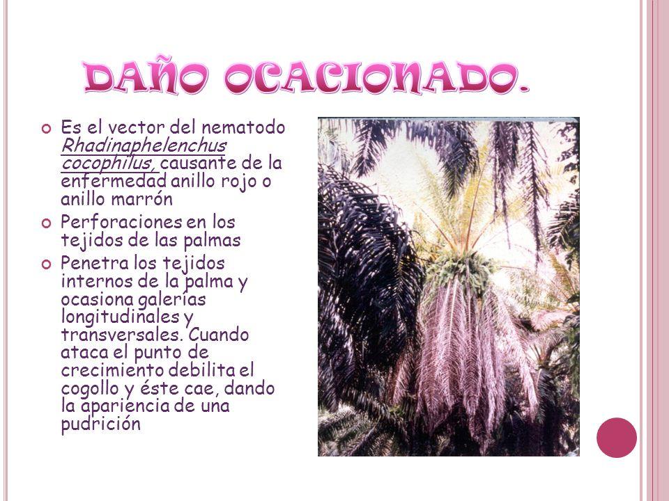 DAÑO OCACIONADO. Es el vector del nematodo Rhadinaphelenchus cocophilus, causante de la enfermedad anillo rojo o anillo marrón.