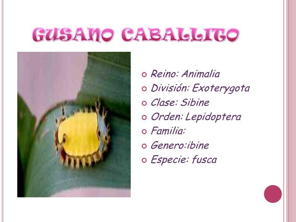 GUSANO CABALLITO Reino: Animalia División: Exoterygota Clase: Sibine