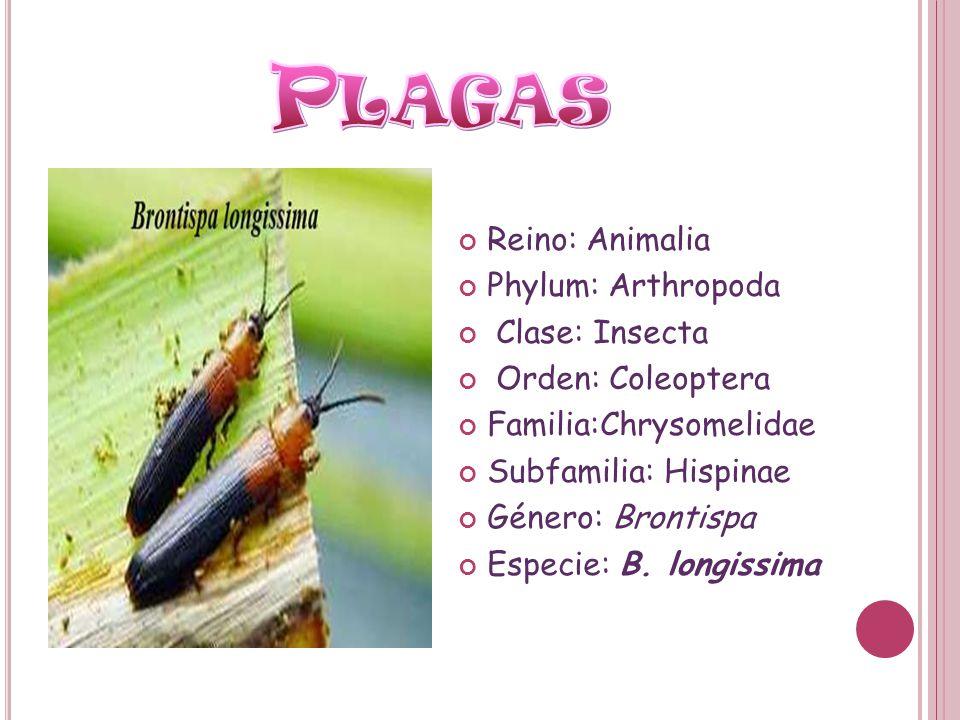 Plagas Reino: Animalia Phylum: Arthropoda Clase: Insecta