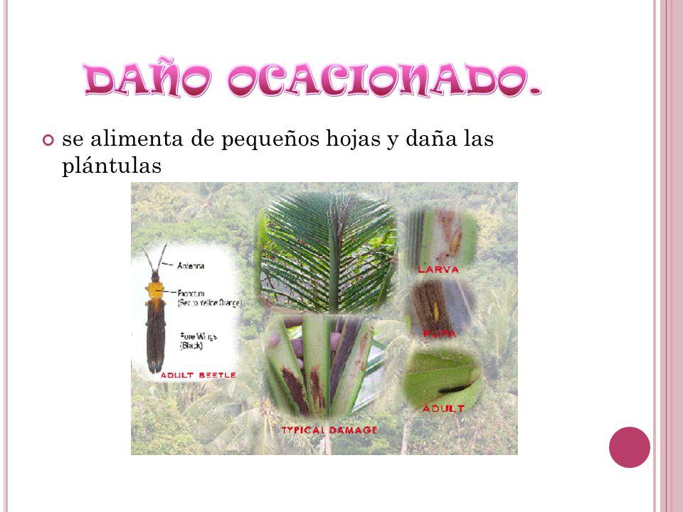 DAÑO OCACIONADO. se alimenta de pequeños hojas y daña las plántulas
