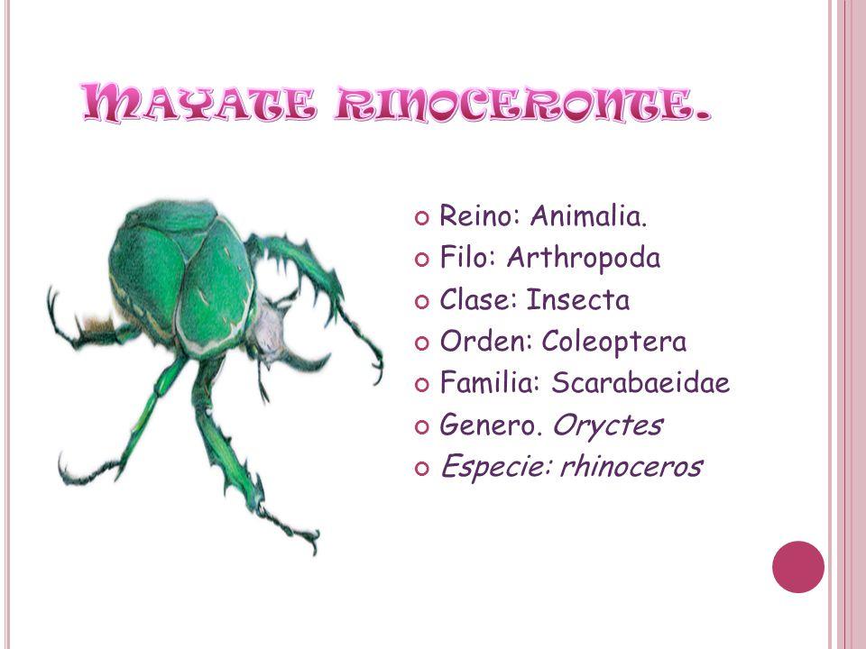 Mayate rinoceronte. Reino: Animalia. Filo: Arthropoda Clase: Insecta