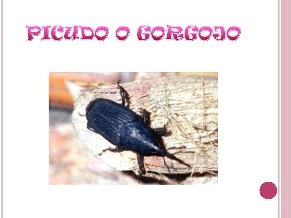 PICUDO O GORGOJO