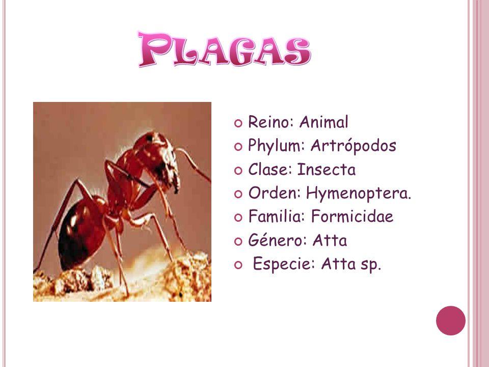 Plagas Reino: Animal Phylum: Artrópodos Clase: Insecta