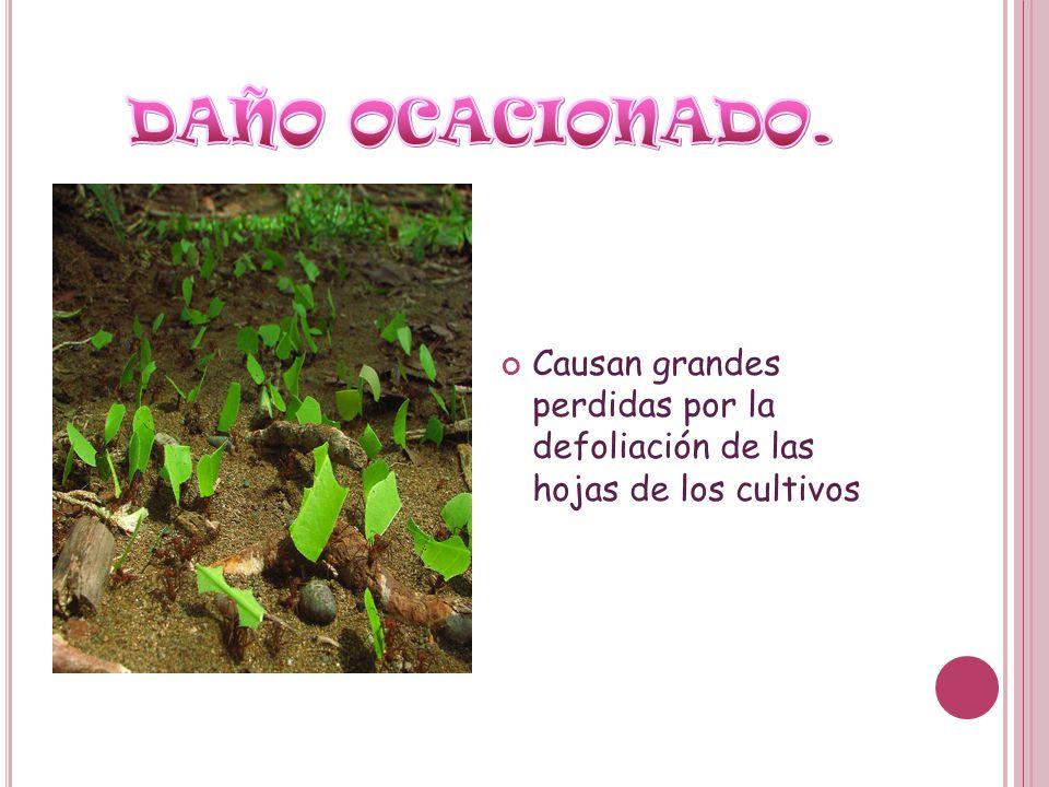 DAÑO OCACIONADO. Causan grandes perdidas por la defoliación de las hojas de los cultivos