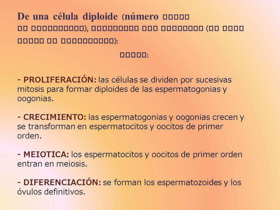 De una célula diploide (número doble de cromosomas), conseguir una haploide (un solo juego de cromosomas): FASES: - PROLIFERACIÓN: las células se dividen por sucesivas mitosis para formar diploides de las espermatogonias y oogonias.