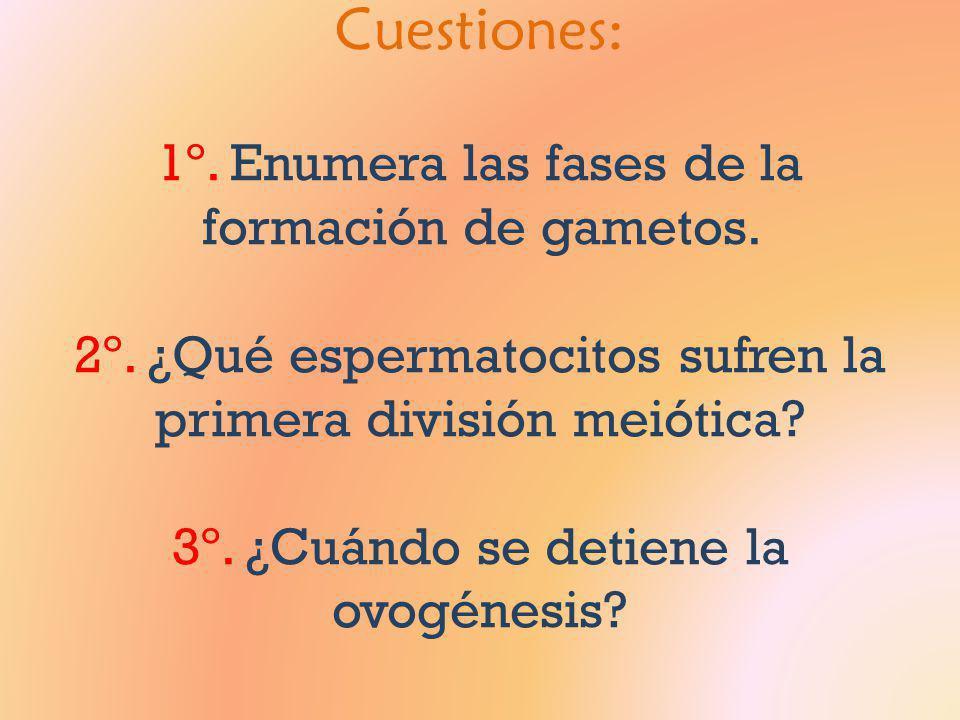 Cuestiones: 1º. Enumera las fases de la formación de gametos. 2º