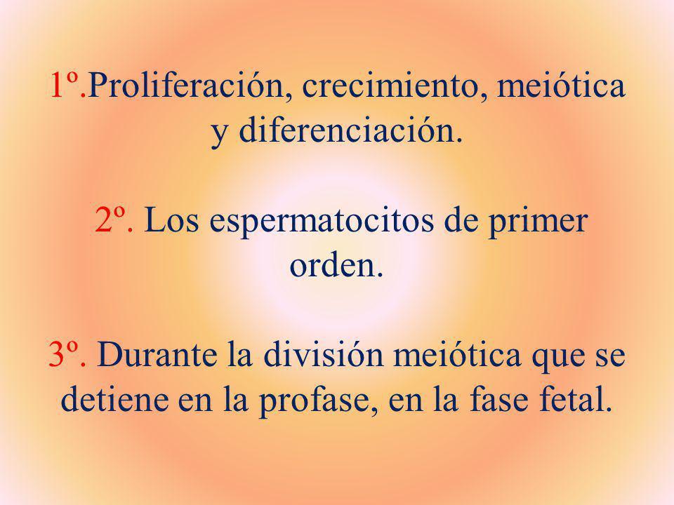 1º. Proliferación, crecimiento, meiótica y diferenciación. 2º