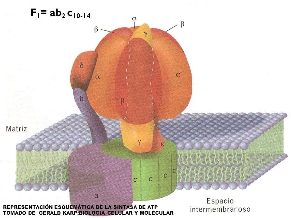 F1= ab2 c10-14 REPRESENTACIÓN ESQUEMÁTICA DE LA SINTASA DE ATP