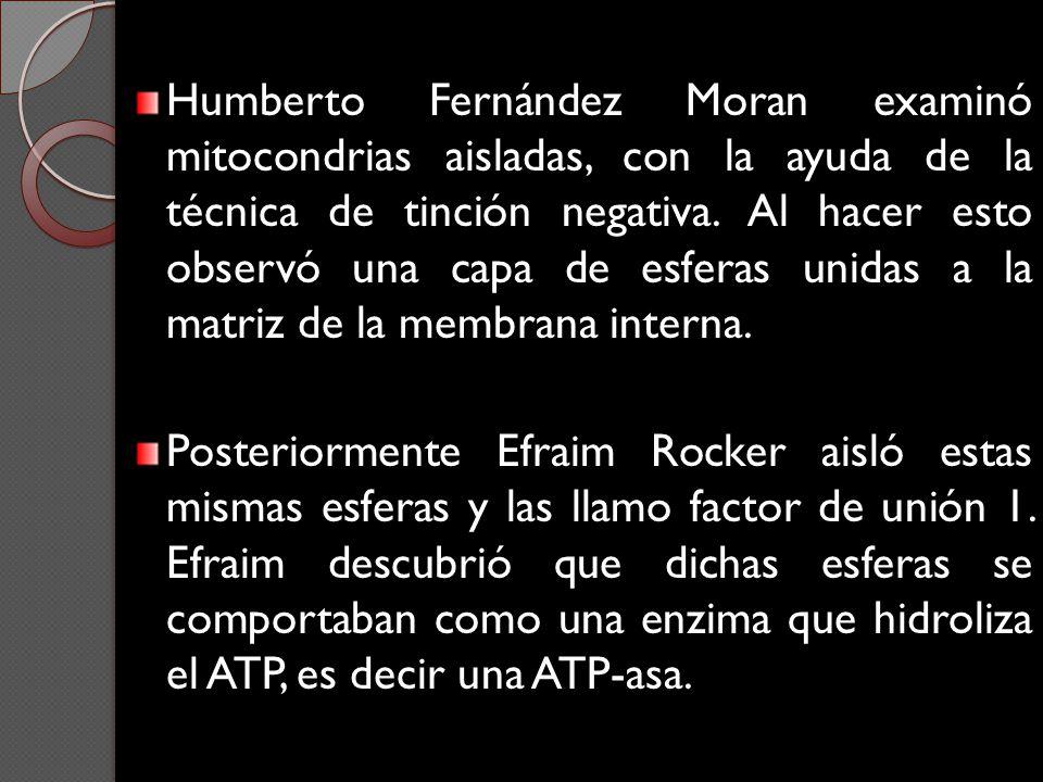 Humberto Fernández Moran examinó mitocondrias aisladas, con la ayuda de la técnica de tinción negativa. Al hacer esto observó una capa de esferas unidas a la matriz de la membrana interna.