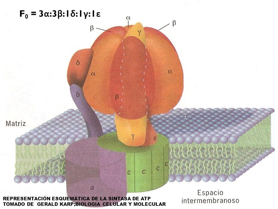 F0 = 3α:3β:1δ:1γ:1ε REPRESENTACIÓN ESQUEMÁTICA DE LA SINTASA DE ATP