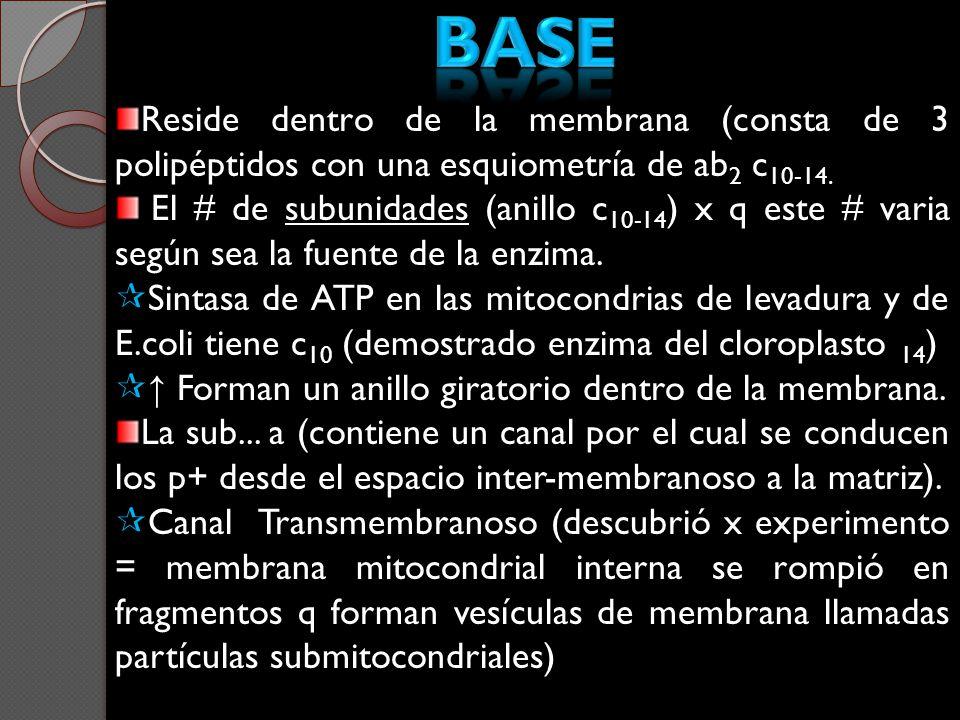 Base Reside dentro de la membrana (consta de 3 polipéptidos con una esquiometría de ab2 c10-14.