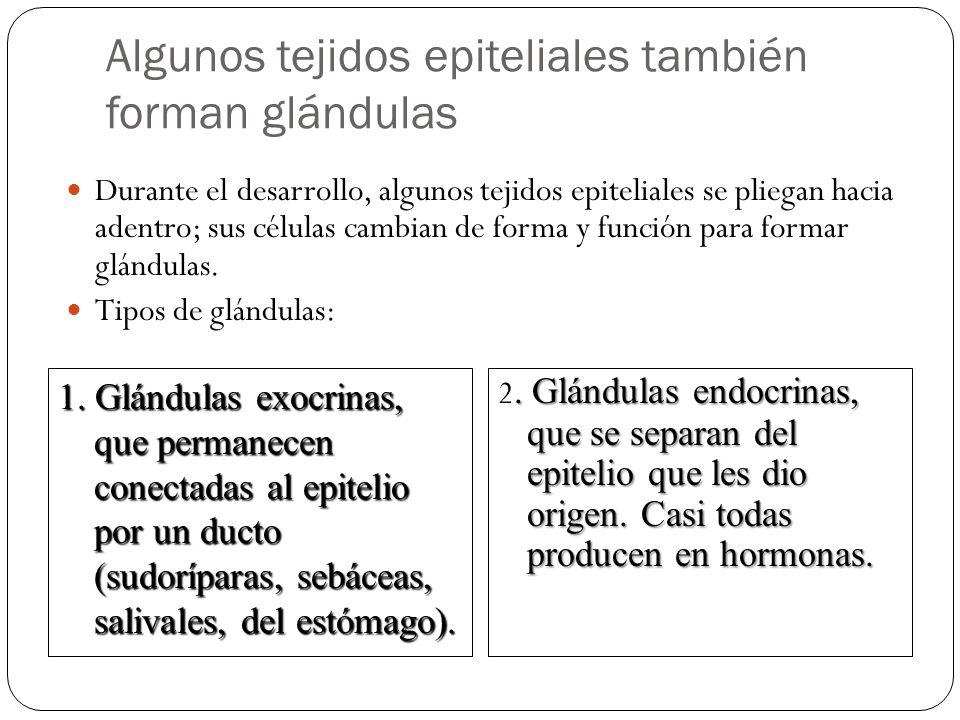 Algunos tejidos epiteliales también forman glándulas