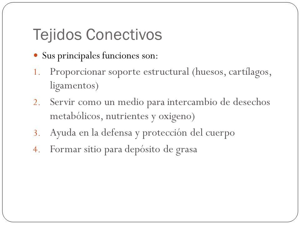 Tejidos Conectivos Sus principales funciones son: Proporcionar soporte estructural (huesos, cartílagos, ligamentos)