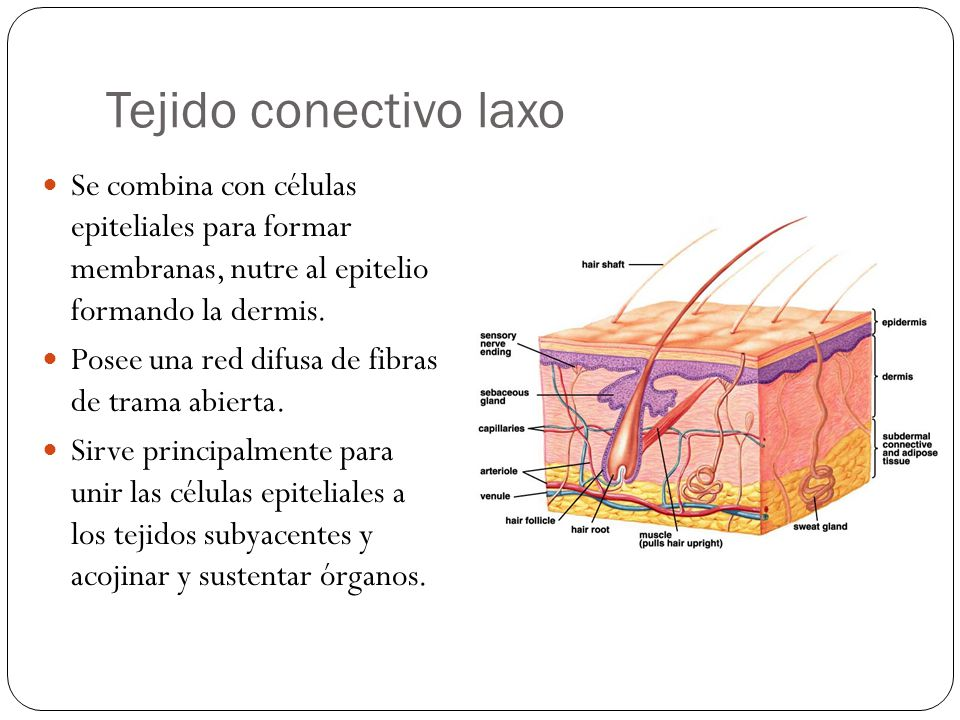 Tejido conectivo laxo Se combina con células epiteliales para formar membranas, nutre al epitelio formando la dermis.