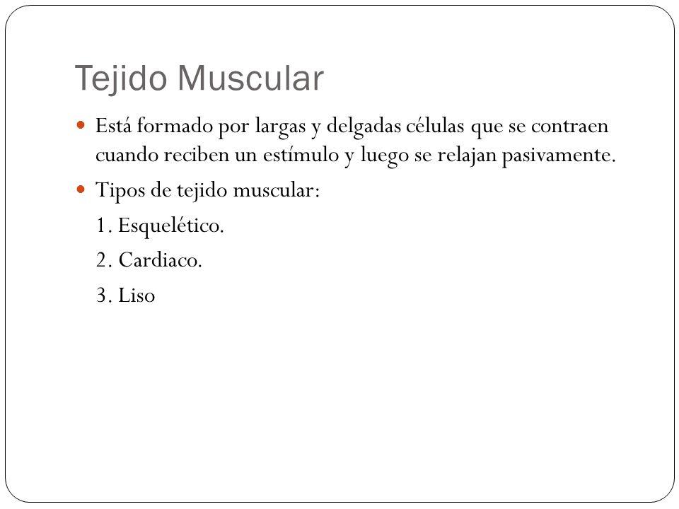 Tejido Muscular Está formado por largas y delgadas células que se contraen cuando reciben un estímulo y luego se relajan pasivamente.