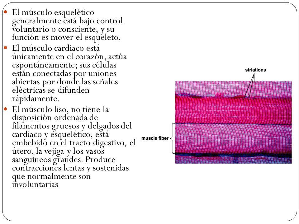 El músculo esquelético generalmente está bajo control voluntario o consciente, y su función es mover el esqueleto.