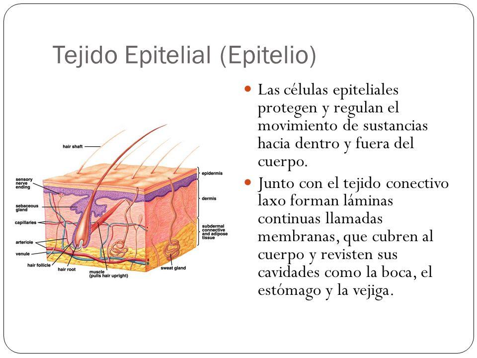 Tejido Epitelial (Epitelio)